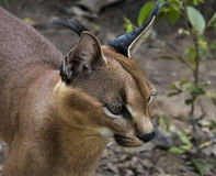 Caracal. Beautiful caracall cat in object photoshoot Royalty Free Stock Images