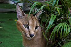 Caracal. Beautiful caracall cat in object photoshoot Royalty Free Stock Photos