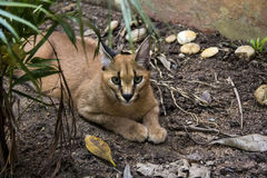 Caracal. Beautiful caracall cat in object photoshoot Stock Images