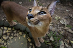 Caracal. Beautiful caracall cat in object photoshoot Stock Image