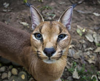 Caracal. Beautiful caracal cat in object photoshoot Stock Photography