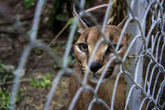 Caracal. Beautiful caracal cat in object photoshoot Stock Images