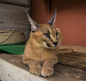 Caracal. Beautiful caracal cat in object photoshoot Royalty Free Stock Photo