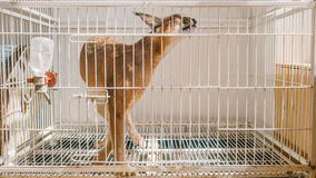 Caracal in a cage. Stock Images