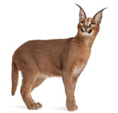 Caracal, Caracal caracal Immagine Stock