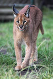 Caracal (Caracal caracal) Photo libre de droits