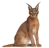 Caracal, Caracal caracal, 6 mois Photo stock