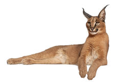 Caracal, Caracal caracal, 6 months old Royalty Free Stock Photos