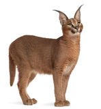 Caracal, Caracal caracal, 6 months old. In front of white background Royalty Free Stock Photography