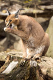 Caracal, Caracal caracal, clean their fur Royalty Free Stock Images