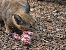 Caracal, Caracal caracal, eats a slaughtered rabbit. One Caracal, Caracal caracal, eats a slaughtered rabbit stock photo