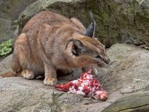 Caracal, Caracal caracal, eats a slaughtered rabbit. One Caracal, Caracal caracal, eats a slaughtered rabbit royalty free stock images