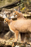 Caracal, Caracal caracal, female with young Royalty Free Stock Image