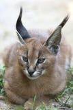 Caracal (Caracal caracal) kitten. Stock Photos