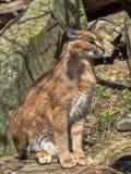 Caracal, Caracal caracal, is a very agile cat. The Caracal, Caracal caracal, is a very agile cat Stock Photo