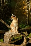 Caracal caracal. Caracal sitting on a stump and watching the neighborhood Stock Photos