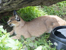 Caracal Royalty Free Stock Image
