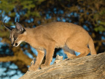 Caracal cat. Medium-sized fawn carnivore related to lion and leopards.  Distinctive tufts of black hair ob tips of ear. Widely distributed but secretive. mostly Royalty Free Stock Photos
