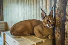 Caracal cat, Big cat, Cat Royalty Free Stock Image