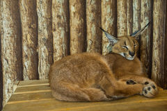 Caracal cat, Big cat, Cats background. Caracal cat, Big cat, Cats wooden background Stock Photo