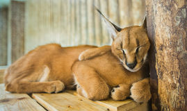 Caracal cat, Big cat, Cats isolated background. Caracal cat, Big cat, Cats, Cat sleep isolated background Stock Images