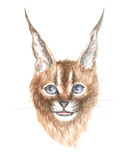 The Caracal cat Stock Image