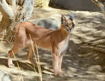 Caracal cat posing under the shade. An image of a caracal cat posing under the shade of a tree Royalty Free Stock Images