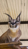 Caracal cat Royalty Free Stock Photos