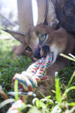 Caracal cat Stock Image