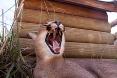 Caracal cat Royalty Free Stock Photography