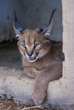 Caracal cat Royalty Free Stock Photo