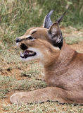 Caracal cat Royalty Free Stock Image