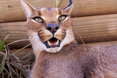 Caracal cat Stock Photography