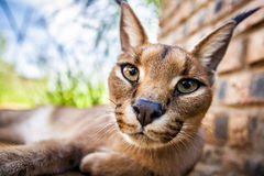 Caracal cat Royalty Free Stock Images