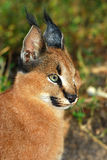 Caracal - chat sauvage Image stock