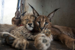 Caracal and cheetah cat Royalty Free Stock Photo
