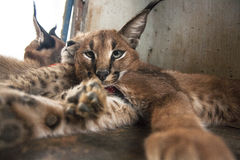 Caracal and cheetah cat Stock Images