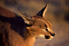 Caracal. Close up of a Caracal (Caracal felix) taken in Botswana Royalty Free Stock Photo