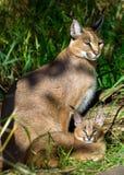 Caracal con el bebé Imagen de archivo libre de regalías