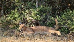 Caracal dans l'habitat naturel Photo stock