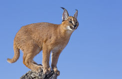Caracal on dead log, South Africa Stock Photos