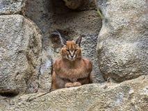 Caracal, Caracal Caracal, descansando en un afloramiento rocoso imagen de archivo