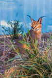 Caracal or desert lynx Royalty Free Stock Photos