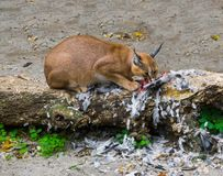 Caracal a desert lynx eating its hunted bird prey on a tree trunk with feathers all over the place a wildlife portrait of a big. A caracal also known as desert royalty free stock image