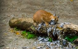 Caracal a desert lynx eating its hunted bird prey on a tree trunk with feathers all over the place, a wildlife portrait of a big. Desert lynx eating its hunted stock photo