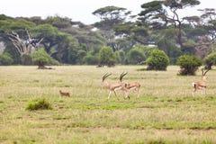 Caracal en Gazelles Royalty-vrije Stock Foto's