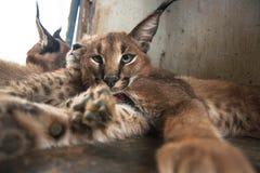 Caracal et chat de guépard Images stock
