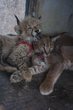 Caracal et chat de guépard Photographie stock libre de droits