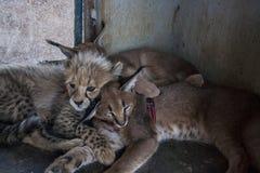 Caracal et chat de guépard Photos stock