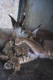 Caracal et chat de guépard Photographie stock